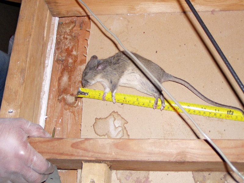 Abolish Pest Control Rat Proofing Cleanup Trapping